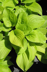 Hosta Twenty-Four Carat Gold