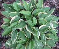 Hosta Cookie Crumbs