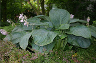 Giant hosta Empress Wu
