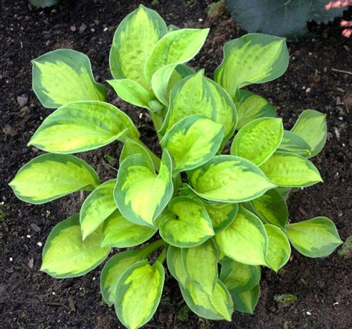 Hosta Pocketful of Sunshine