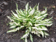 Hosta Teen Weeny Bikini - Miniature, Small Hosta Plants