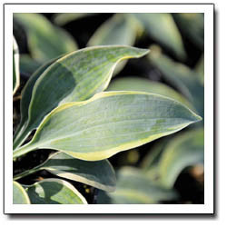 Buy Hosta Picasso A Small Blue Hosta With Gold Edge