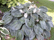 Beautiful Blue corrugated/puckered leaf. Very large mounding hosta.
