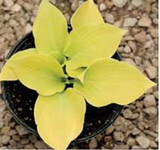 Hosta Lemontini , small/miniature bright yellow hosta