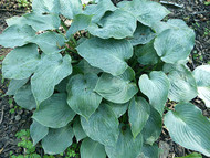 Hosta Pewterware  Small Blue Hosta