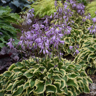 Hosta Wrinkle in Time  Medium hosta with dark green leaves with wavy white edges