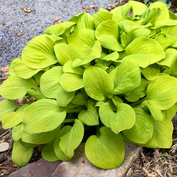 Buy Hosta Sun Mouse Bright Yellow Gold Miniature Hosta