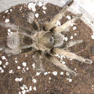 WC Aphonopelma hentzi Female