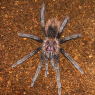 Xenesthis immanis Female