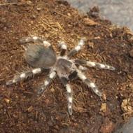 Nhandu coloratovillosus