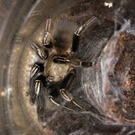 Ephebopus murinus Female WC