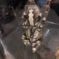 Poecilotheria regalis Female