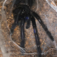Chilobrachys sp. Electric Blue  Female