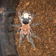 Cyriocosmus perezmilesi Female