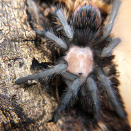 Brachypelma albiceps Female