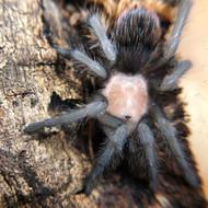 Brachypelma albiceps Female