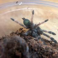 Psalmopoeus  reduncus  Female