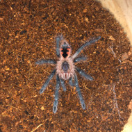 Pamphobeteus platyomma Female