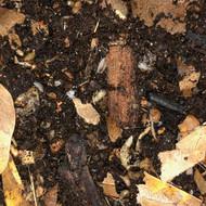 Trichorhina tomentosa 25ct