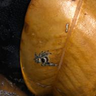 Phidippus regius Female