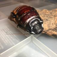 Gromphadorhina oblongonata 10ct Nymphs