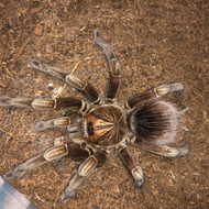 Pamphobeteus sp. Duran Female