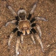 Pamphobeteus sp. Paisa Female