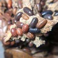 "Armadillidium vulgare ""St. Lucia"" 10ct"