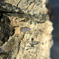 Philoscia sp. Thai 10ct
