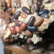 "Armadillidium vulgare ""St. Lucia"" 50ct"