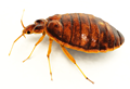 bedbugs1.png