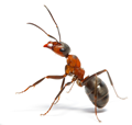 fireant.png