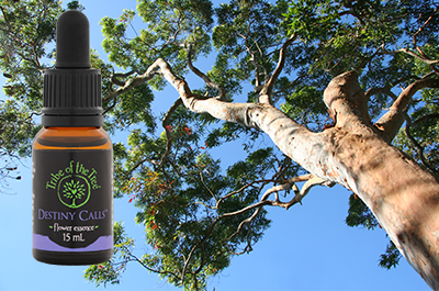 Destiny Calls flower essence with Sydney Red Gum Tree