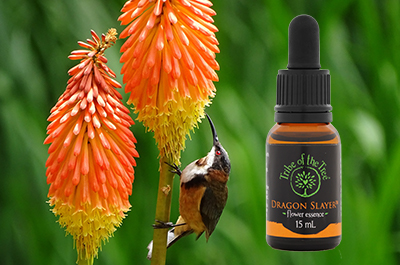 Red hot poker plant with bird and Dragon Slayer flower essence