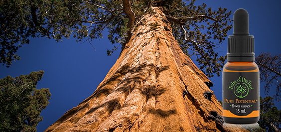Giant Sequoia tree with Pure Potential Flower Essence