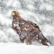 TWT91156 - Golden Eagle 8pk (TWT, 6 Christmas packs)