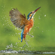 WT91374 - Kingfisher (TWT, 6 blank cards)