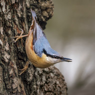 WT91384 - Nuthatch (TWT, 6 blank cards)