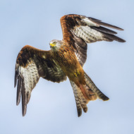 WT91393 - Red Kite (TWT, 6 blank cards)