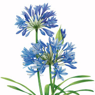 BS77860Y - Agapanthus (6 thinking of you cards)