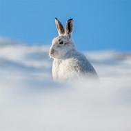 TWT91141 - Mountain Hare 8pk (TWT, 6 Christmas packs)
