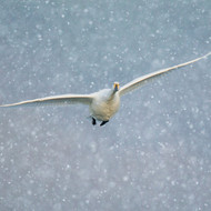 TWT91137 - Whooper Swan in Flight 8pk (TWT, 6 Christmas packs)