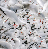 WT91400 - Black-headed Gulls in Winter Plumage (TWT, 6 blank cards)