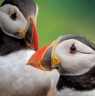WT91401 - Puffins (TWT, 6 blank cards)