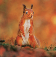 WT91402 - Red Squirrel (TWT, 6 blank cards)