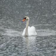 WT91406 - Swan in Falling Snow (TWT, 6 blank cards)