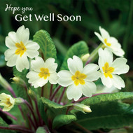 SM14182G - Primroses (6 get well  cards)