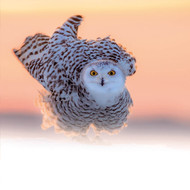 TWT91121 - Snowy Owl (TWT, 6 Christmas packs)
