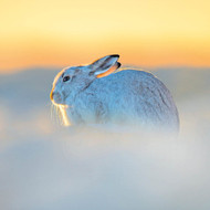 TWT91124 - Mountain Hare (TWT, 6 Christmas packs)