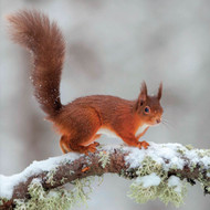 TWT91129 - Red Squirrel 8pk (TWT, 6 Christmas packs)